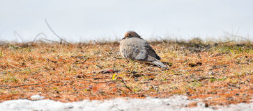 Mourning Doves, Turtle Doves Zenaida macroura on the ground looking at camera. Royalty Free Stock Image