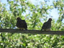 Mourning Doves Royalty Free Stock Photos
