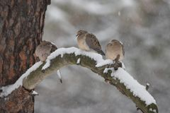 Mourning doves in the winter Royalty Free Stock Image