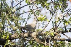 Mourning Doves (Zenaida macroura) on branch Stock Images