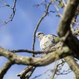 Mourning Doves (Zenaida macroura) on branch Royalty Free Stock Photo