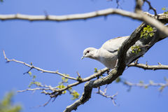 Mourning Doves (Zenaida macroura) on branch Stock Photography