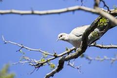 Mourning Doves (Zenaida macroura) on branch Stock Photography