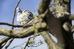 Mourning Doves (Zenaida macroura) on branch Stock Photos