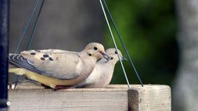 Mourning Doves - Zenaida macroura Royalty Free Stock Image