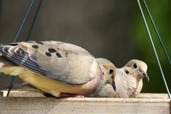 Mourning Doves - Zenaida macroura Stock Image