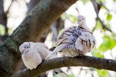 Mourning Doves Zenaida macroura Royalty Free Stock Image