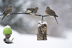 Mourning Doves - Zenaida macroura Stock Images