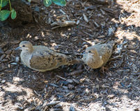 Mourning Doves      Zenaida macroura. Two Mourning Doves in the shade Stock Photos
