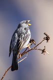 Mourning Sierra-Finch on a tree in Colca Canyon, Peru. Royalty Free Stock Photos