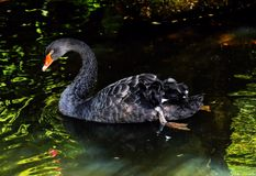 Mourning Swan, Black Swan Stock Images