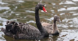 Mourning Swan, Swan, Black Stock Photography