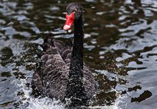 Mourning Swan, Swan, Black Stock Photos