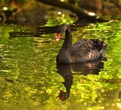 Mourning Swan, Swan, Black, Animal Stock Images