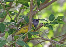 Mourning Warbler Stock Photography