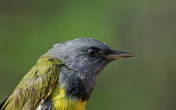 Mourning Warbler Close-Up Royalty Free Stock Photo