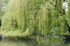 The Mourning willow and the duck stock photo