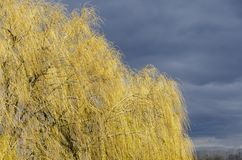 Mourning willows in spring royalty free stock photo