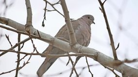 Mourningbird Dove turtledove bird Zenaida macroura on a tree branch stock video footage
