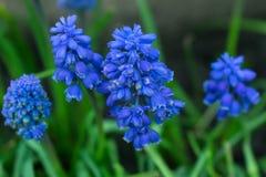 Mousa Kari blå liten blomma på en suddig bakgrund royaltyfri fotografi