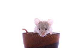 Mouse. Brown mouse isolated on the white background Stock Photos