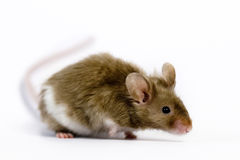 Mouse. In front of a white background Stock Image