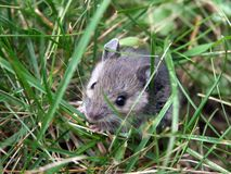 Mouse. Hiding in the grass Stock Photography
