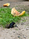 Mouse. The mouse gnaws a pumpkin near a hole in a field Stock Image