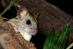Mouse. Looking at you from Tree royalty free stock photos