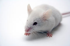 Mouse. White mouse on white background Stock Photography