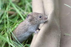 Mouse. The wild mouse latin name Microtus arvalis Stock Photo