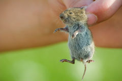 Mouse. Little mouse hand held Royalty Free Stock Images