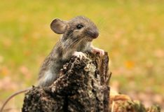 Mouse. Wild mouse catched in glade. Poland Stock Image
