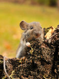 Mouse. Wild mouse in autumn forest Stock Photo