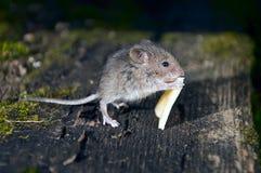 Mouse Immagini Stock Libere da Diritti