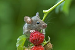 Mouse. Is in a natural habitat Royalty Free Stock Photo