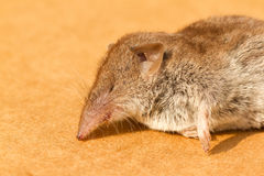 A mouse. Who fell victim to a cat Stock Images