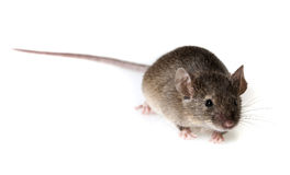 Mouse Royalty Free Stock Image