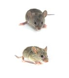 Mouse. Three Mouses isolated on white Stock Photo