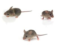 Mouse. Three Mouses isolated on white Stock Image