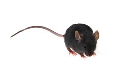 Mouse. Small black mousy on a white background Stock Photography