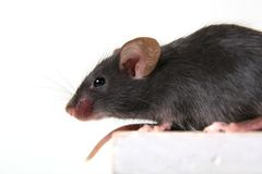 Mouse. Small black mousy on a white background Royalty Free Stock Photography