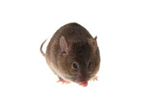 Mouse. Small brown mousy on a white background Stock Photo