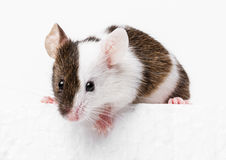 Mouse. Little mouse on a white background royalty free stock images