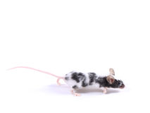 Mouse stock photography