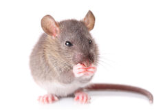 Mouse. Isolated against white background Royalty Free Stock Images