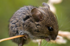 Mouse. Field mouse perched on grass Royalty Free Stock Image
