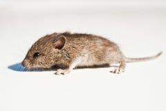 mouse Fotografia Stock Libera da Diritti