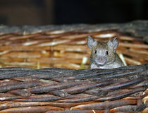 Mouse. A small mouse looking out of a wickerbasket royalty free stock photo