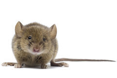 Mouse. A common mouse on white Stock Images